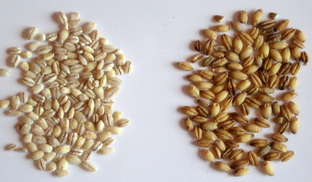 Barley – The Wonder Grain
