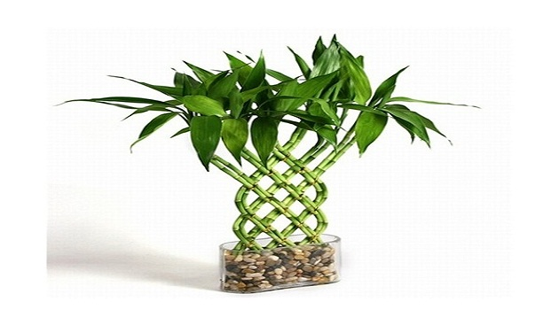 Decorate Your Home with Lucky Bamboo Plant