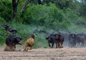 lion_being_chased