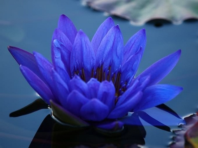 3bluewaterlily